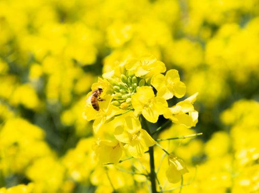 菜の花と蜂02の写真素材