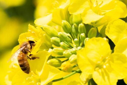 菜の花と蜂03の写真素材