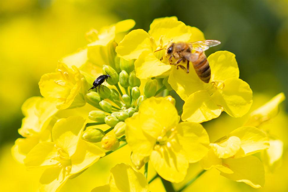 菜の花と虫と蜂の写真素材