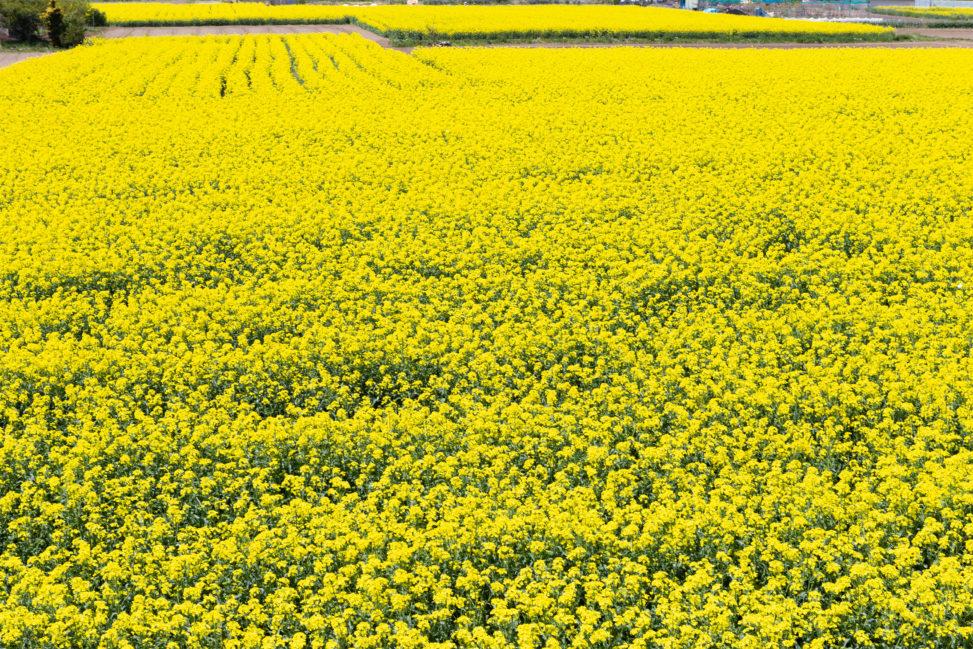 菜の花の絨毯の写真素材