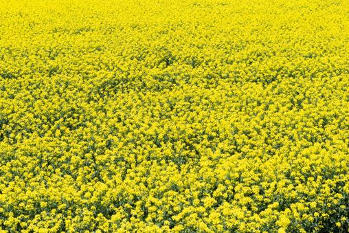 菜の花の絨毯02の写真素材