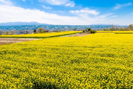 満開の菜の花畑と山の風景03の写真素材