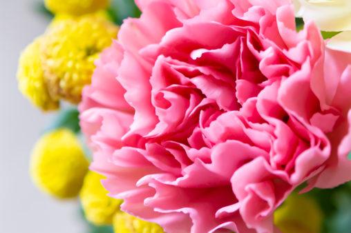 ピンク色のカーネーション02の写真素材