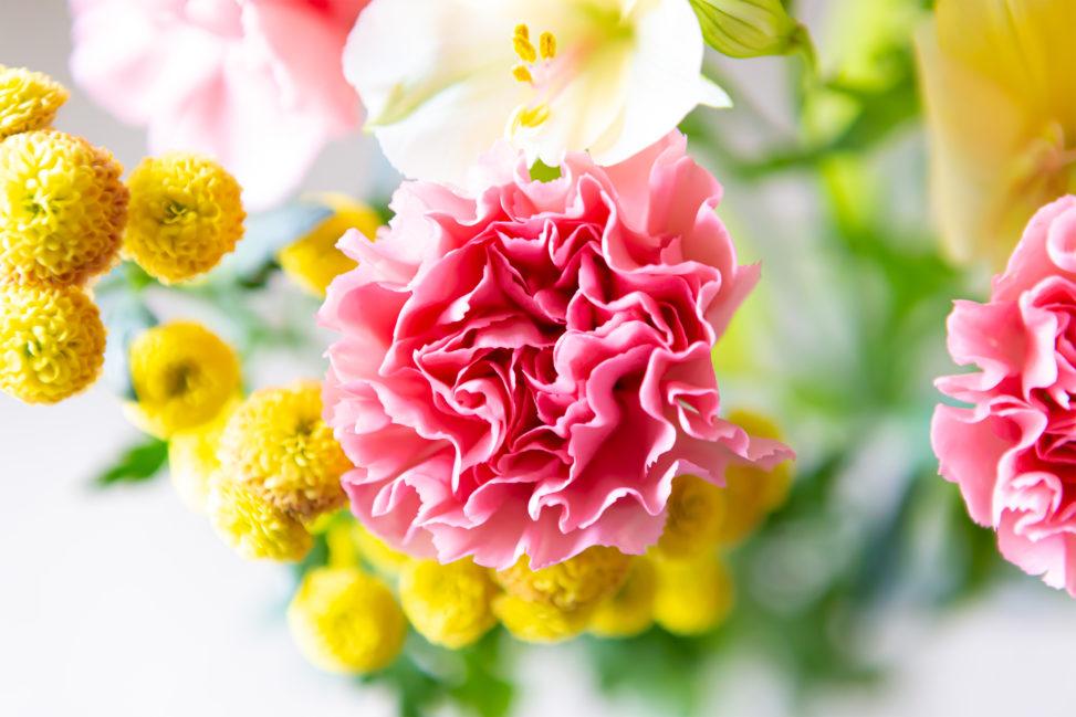 ピンク色のカーネーション04の写真素材