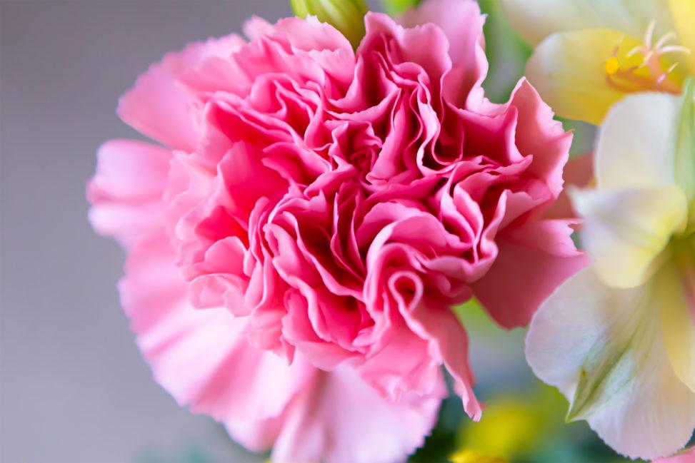 カーネーションの花びらの写真素材