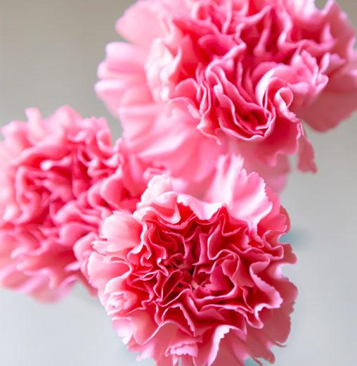 カーネーションの花びら02の写真素材