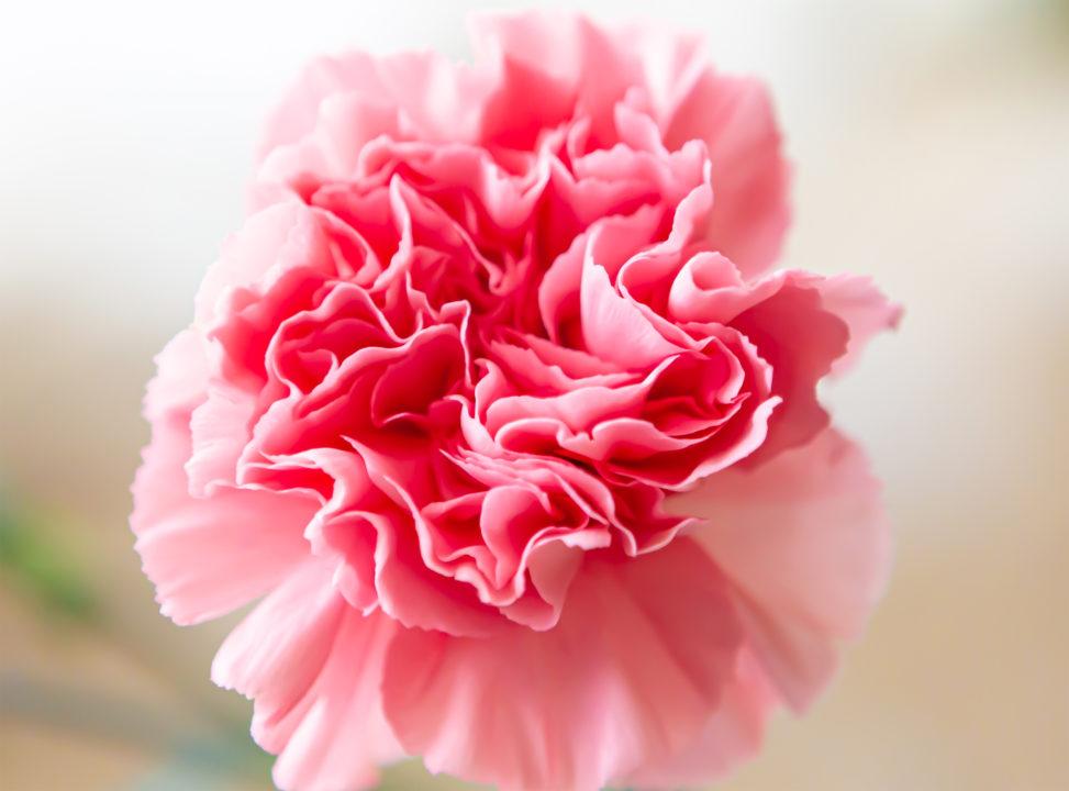 カーネーションの花びら03の写真素材