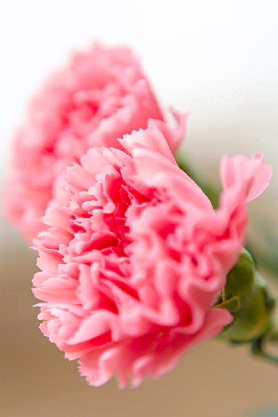カーネーションの花びら04の写真素材