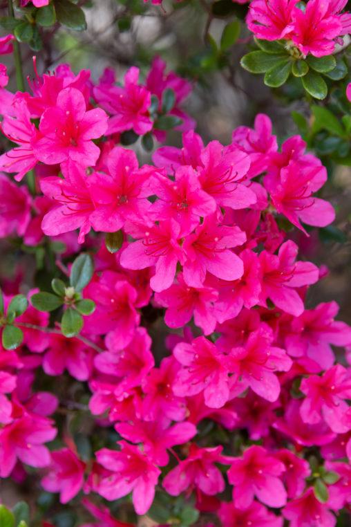 鮮やかなサツキ(皐月)の花の写真素材