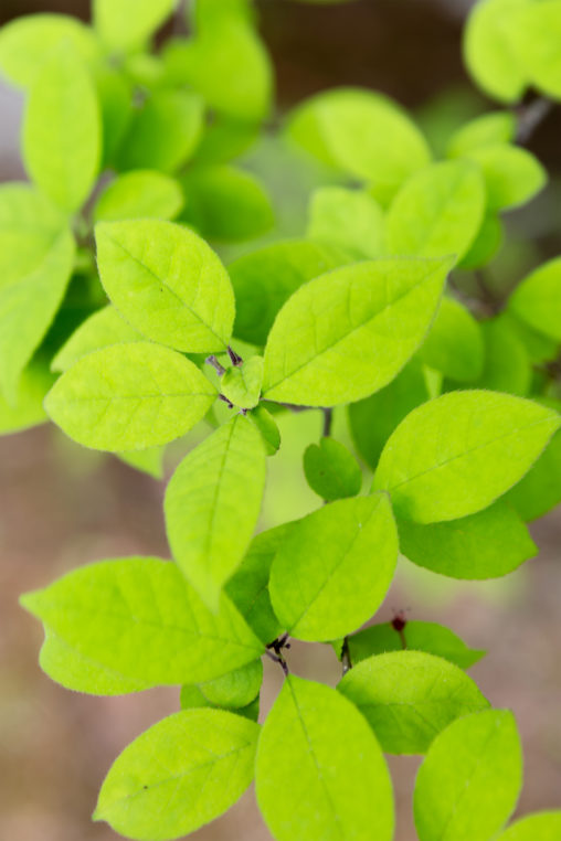 ウメモドキの葉の写真素材