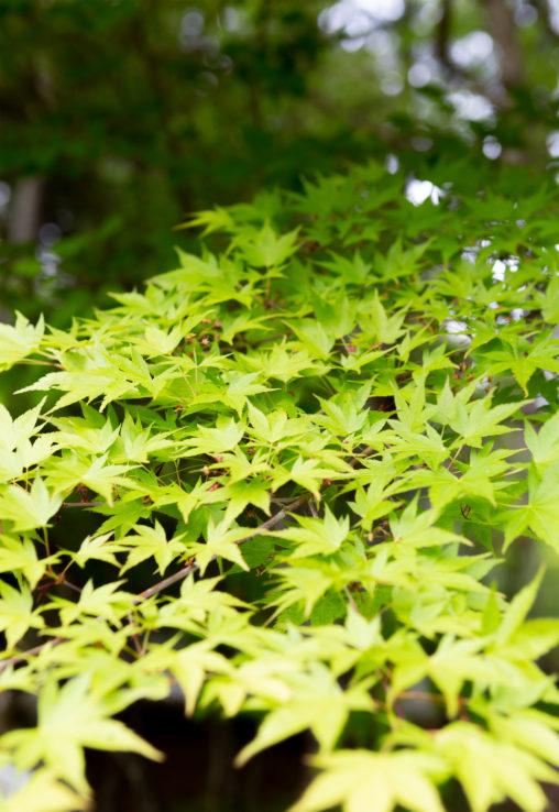 緑のオオモミジの写真素材