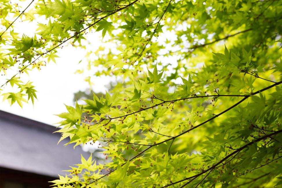 緑のオオモミジ02の写真素材