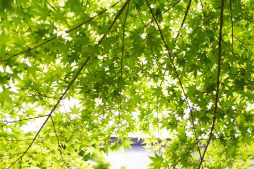 緑のオオモミジ03の写真素材