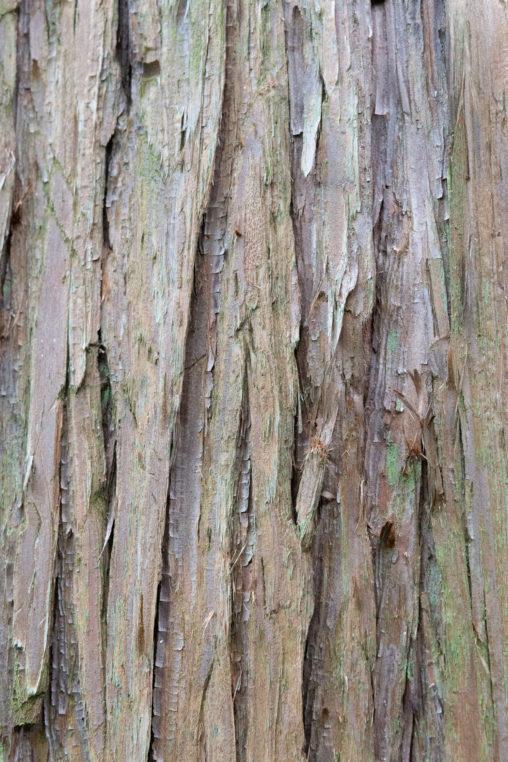 杉の木肌の写真素材
