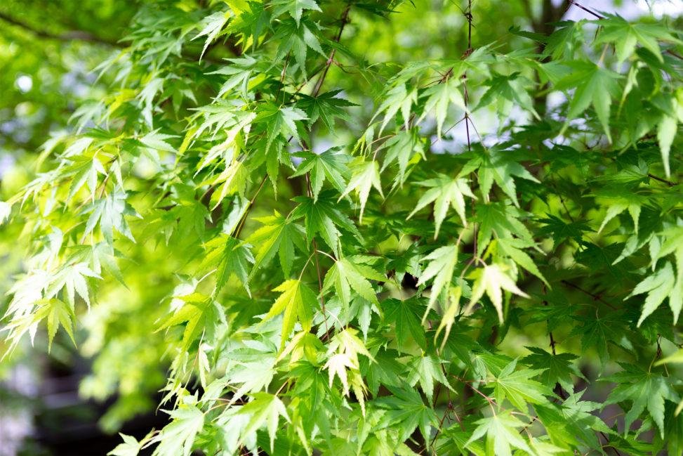 緑のオオモミジ04の写真素材