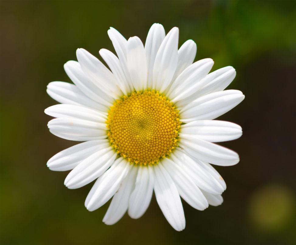 マーガレットの花びらの写真素材
