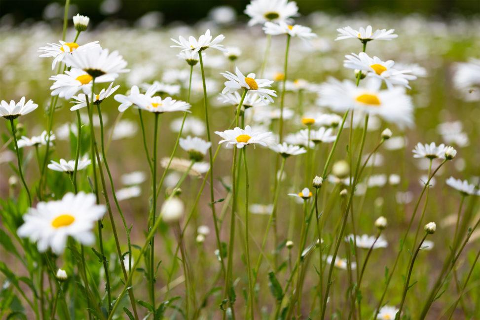 マーガレットの花の写真素材