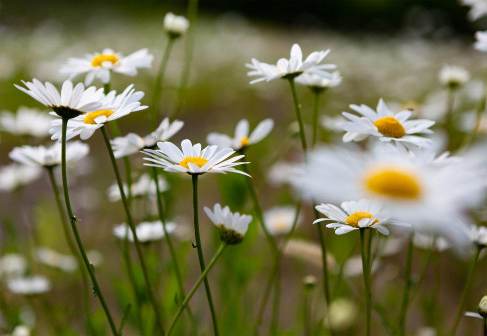 マーガレットの花02の写真素材