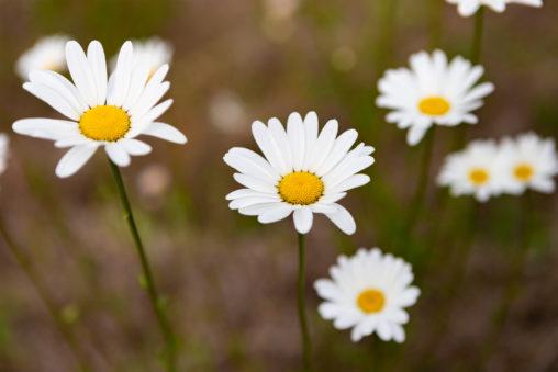 マーガレットの花びら02の写真素材