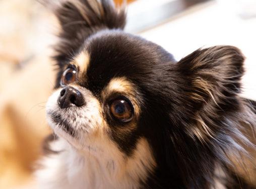 犬・チワワの写真素材