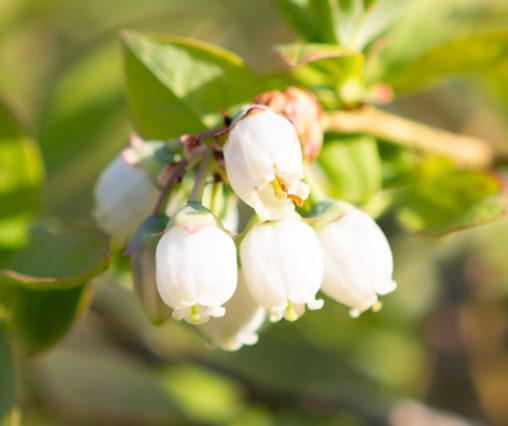 ブルーベリーの花の写真素材