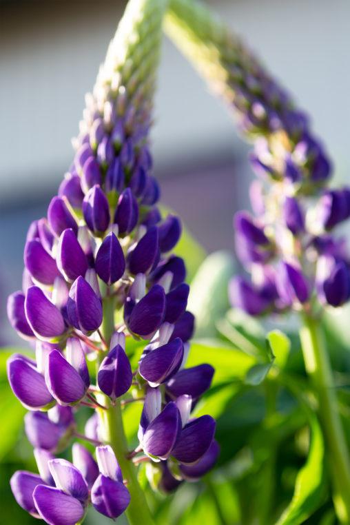 ルピナスの花の写真素材