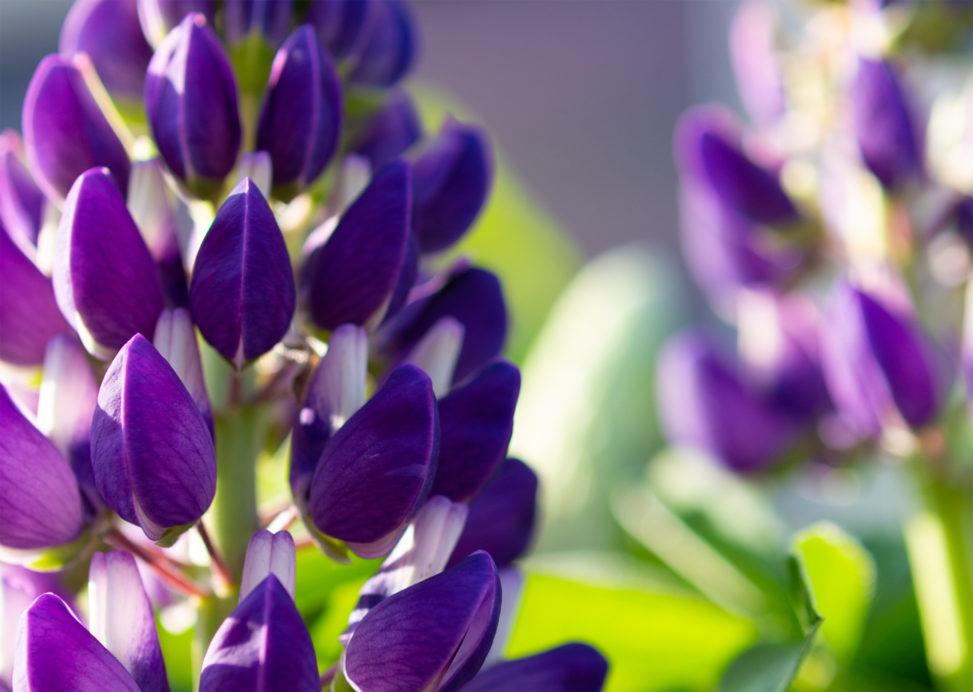 ルピナスの花02の写真素材