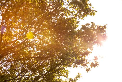 西日を受けて輝く木の写真素材