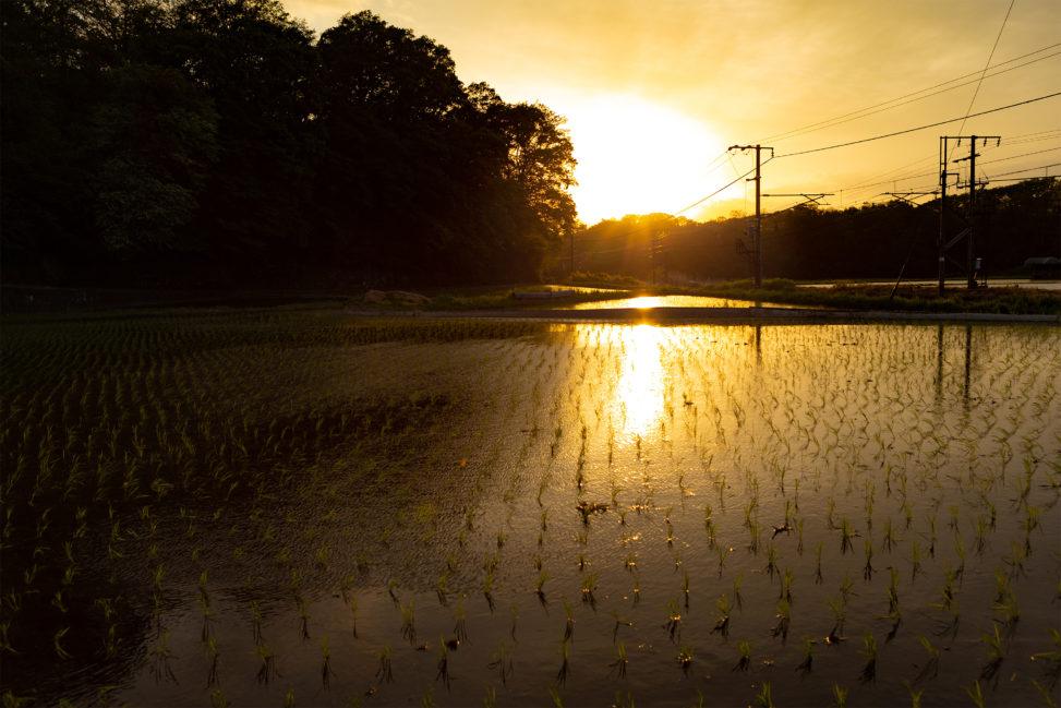水田に反射する夕日(夕焼け)の写真素材