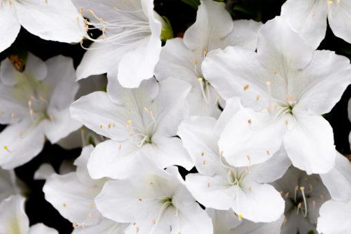 白いツツジの花の写真素材