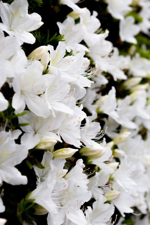 白いツツジの花02の写真素材