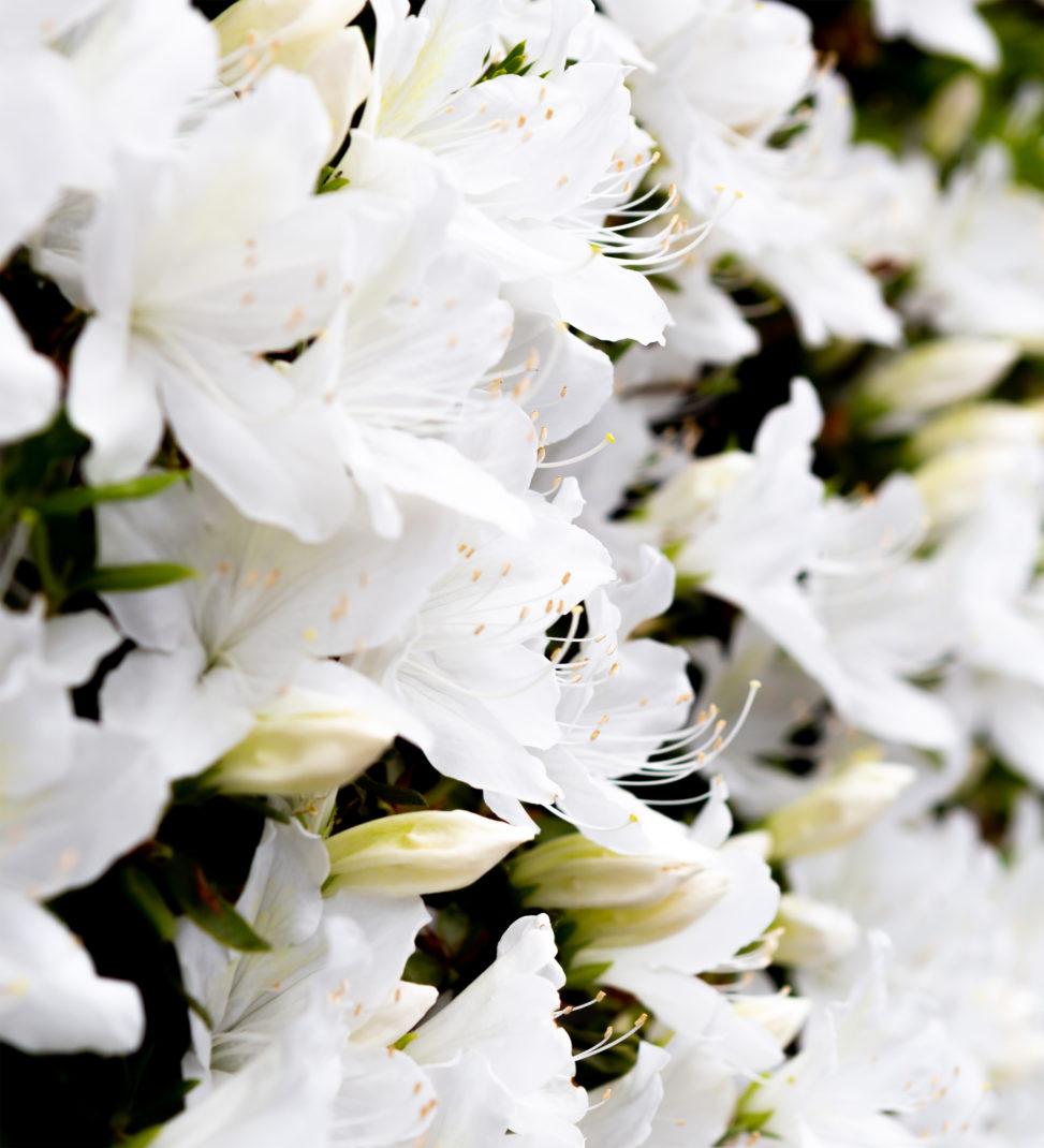 白いツツジの花03の写真素材