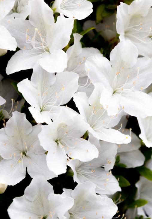 白いツツジの花04の写真素材