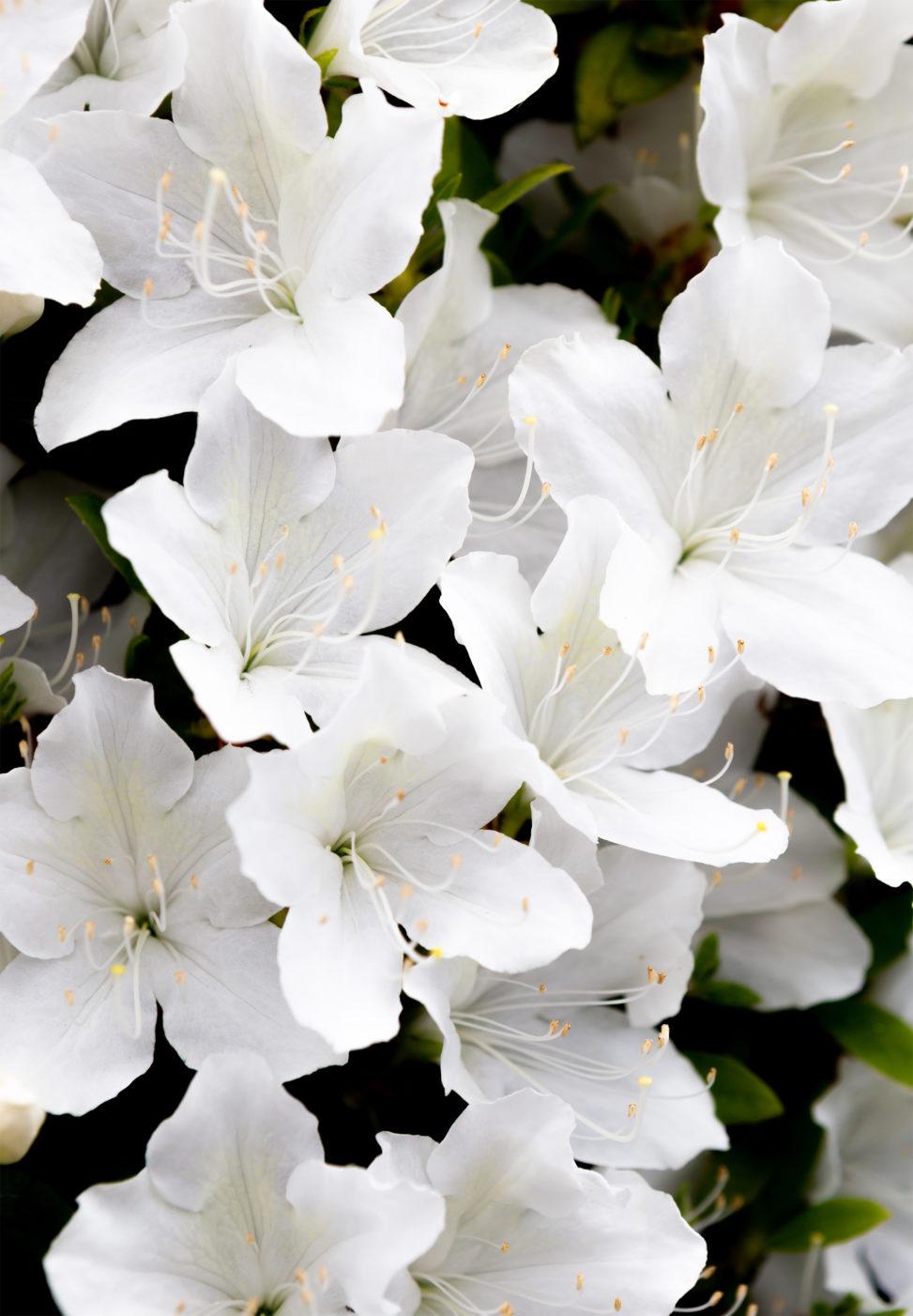 白いツツジの花04 無料の高画質フリー写真素材 イメージズラボ