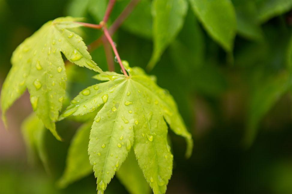 雨上がりの緑のオオモミジの葉の写真素材