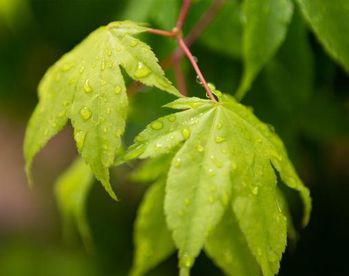 雨上がりの緑のオオモミジの葉02の写真素材