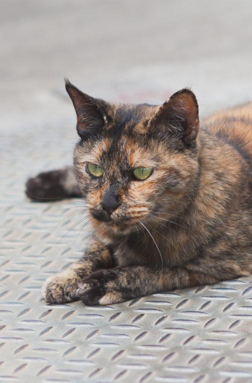 茶色い猫(ねこ)の写真素材