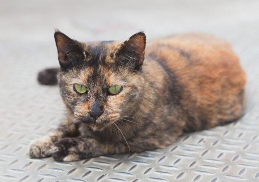 茶色い猫(ねこ)02の写真素材