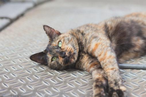 寝転がる茶色い猫(ねこ)の写真素材
