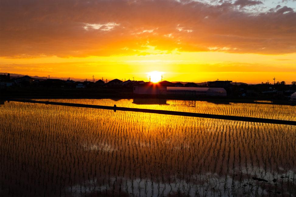 水田に反射する夕日(夕焼け)02の写真素材