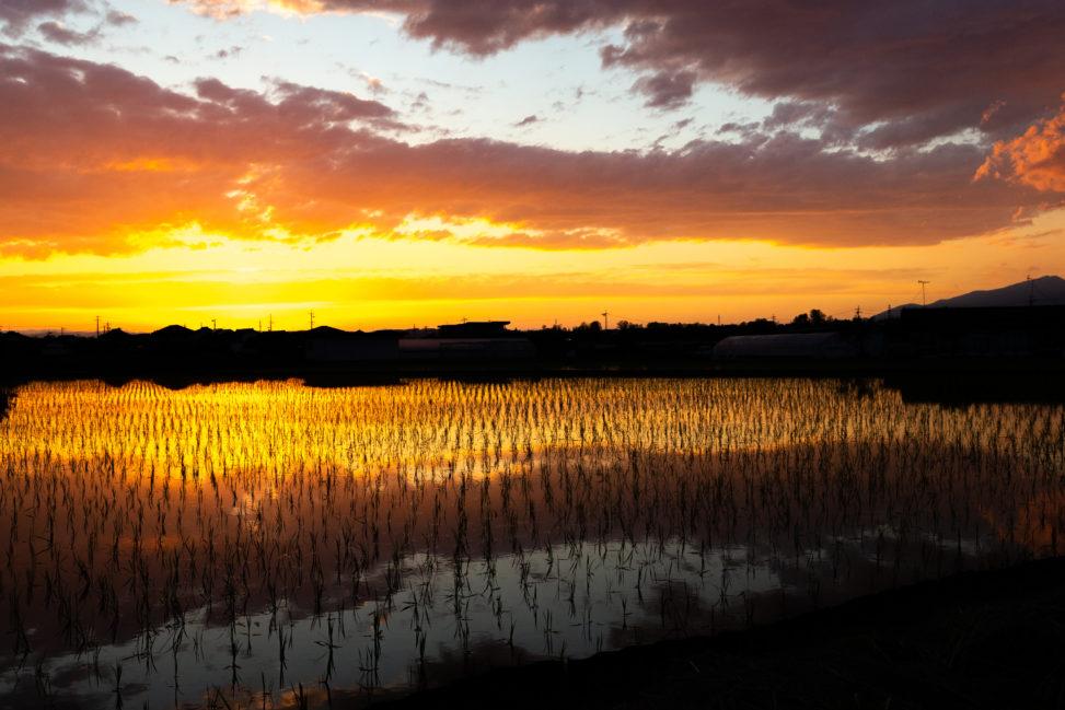 水田に反射する夕日(夕焼け)05の写真素材