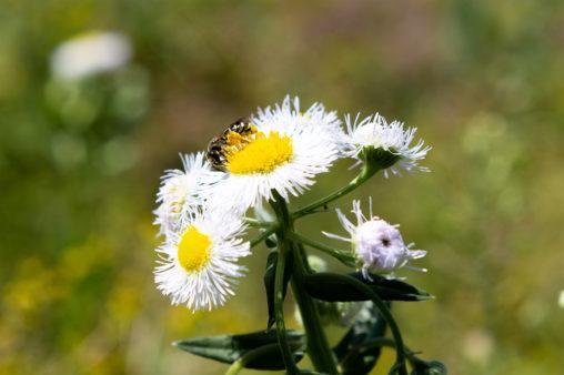 ハルジオンの花と蜂の写真素材