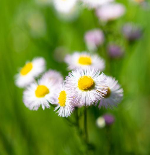 ハルジオンの花の写真素材