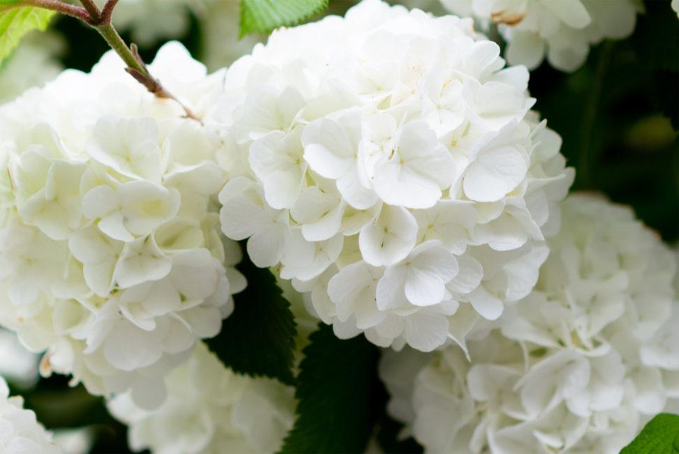 オオデマリの花の写真素材