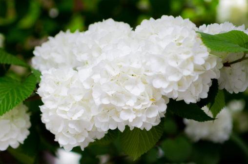 オオデマリの花02の写真素材