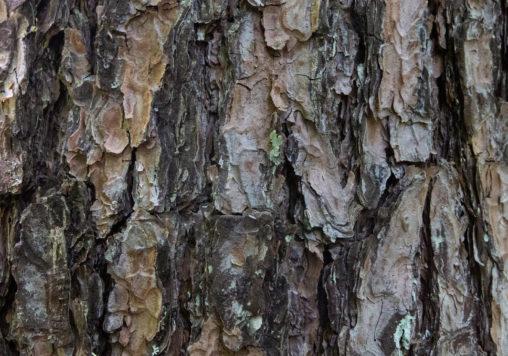 松の木肌のテクスチャーの写真素材