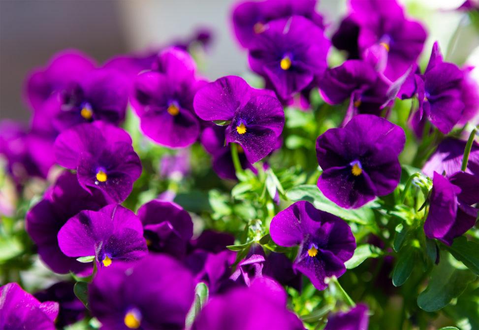 紫のビオラ(ヴィオラ)の写真素材