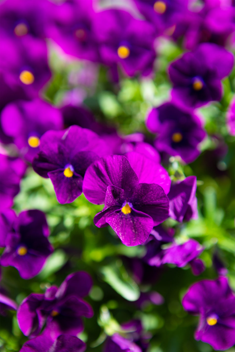 紫のビオラ(ヴィオラ)02の写真素材