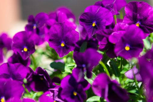 紫のビオラ(ヴィオラ)03の写真素材