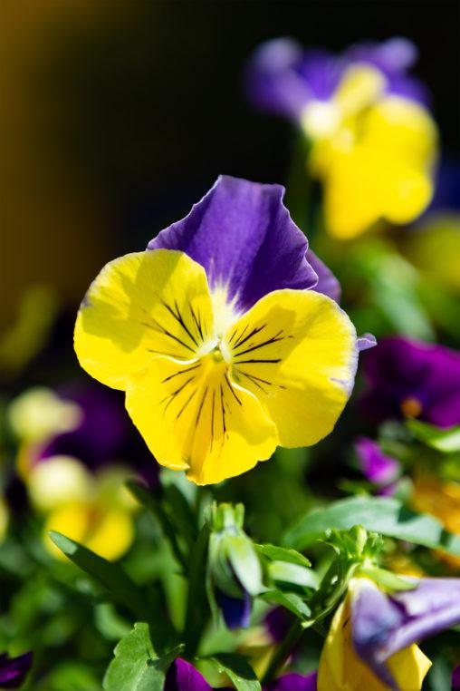 パンジーの花の写真素材